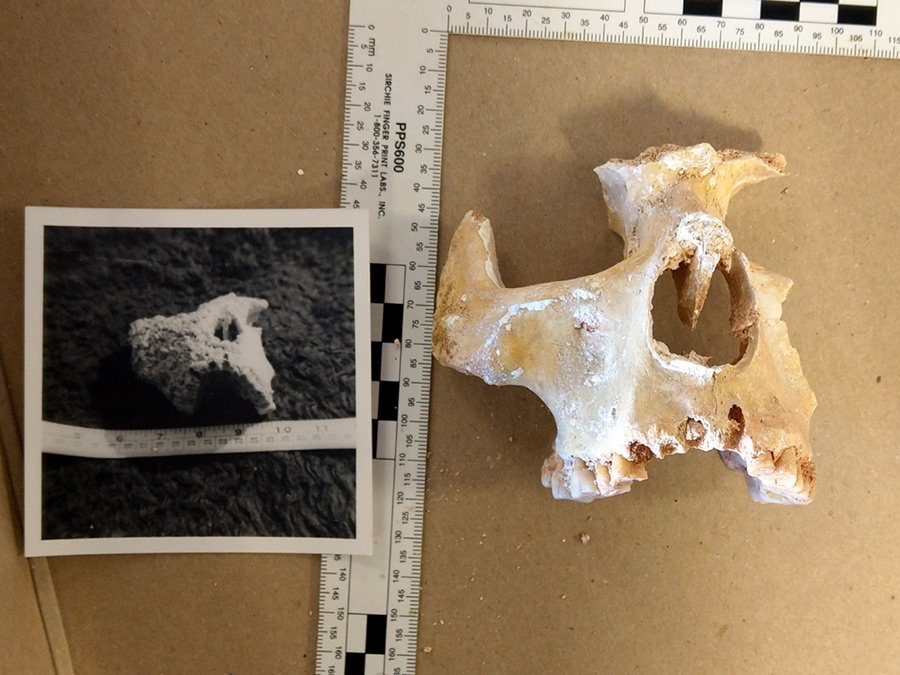 Right facial bones today compared with the original photograph before the calcareous deposit was removed