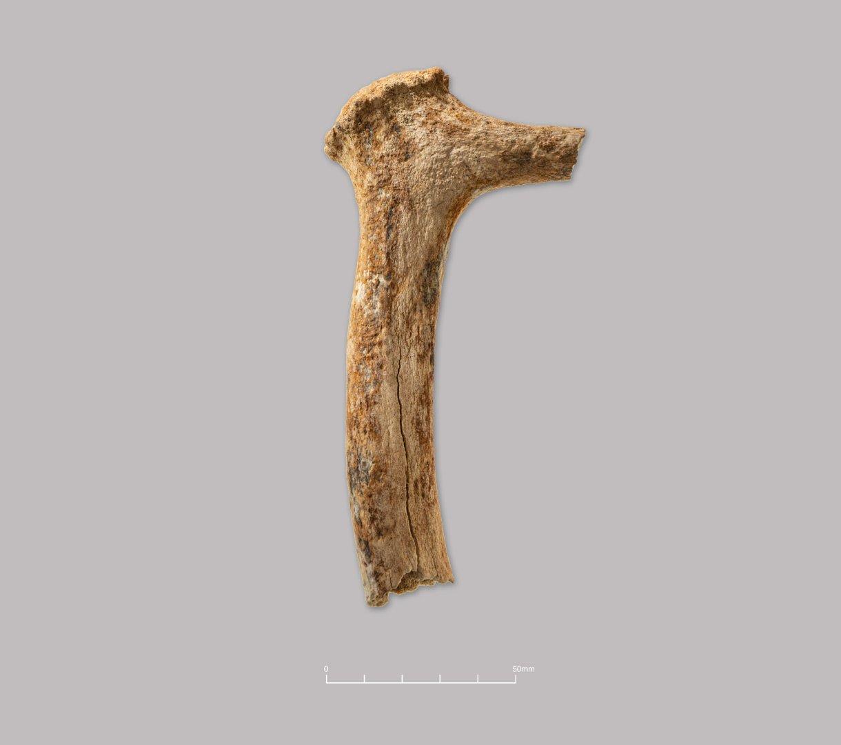Red deer antler (pick fragment?). Probably prehistoric.