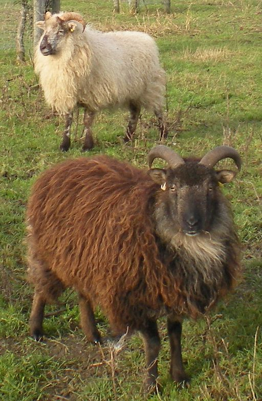 The native Orkney sheep (Photo by Gibbja – Own work, CC BY-SA 3.0